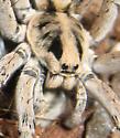 spider - Hogna coloradensis