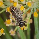 Small Bee? - Paratiphia - male