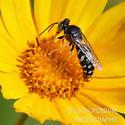 Sand Wasp - Bembix?