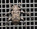 Longhorn beetle - Astylopsis