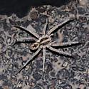 Lycosidae - Hogna carolinensis