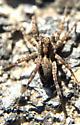 Wolf spider (Pardosa sp.?) - Pardosa