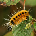 Orange hairy caterpillar with black spots and long white hairs / pencils - Lophocampa maculata
