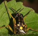 Xylomyidae, antenna - Xylomya tenthredinoides
