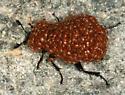 phoretic mites on Sexton Beetle - Poecilochirus