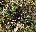 swallowtail - Papilio polyxenes - male
