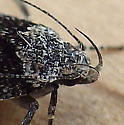 Gelechiidae: Chionodes?