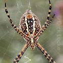 Writing Spider - Argiope trifasciata