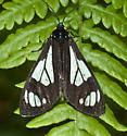 Police car moth - Gnophaela vermiculata
