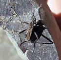 Hemiptera 9/22/09 01a - Tollius curtulus