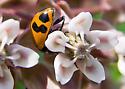 Hippodamia glacialis Ladybird Beetle - Hippodamia glacialis