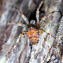Araneid - Araneus diadematus
