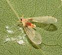 Derbidae - Anotia uhleri