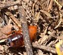 Parcoblatta - Parcoblatta desertae