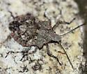 Rough Stink Bug - Brochymena cariosa