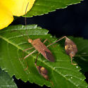 Anisoscelis affinis