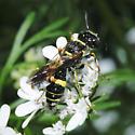 Hymenoptera - Philanthus gibbosus