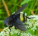 Unknown Insect - Belvosia borealis