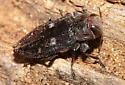 - - Chrysobothris mali - female