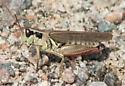 Red-antennaed grasshopper - Melanoplus femurrubrum