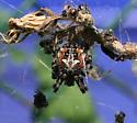 Spider ID Request - Metepeira labyrinthea