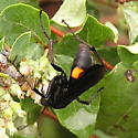 Spider Wasp? - Anoplius semicinctus - female