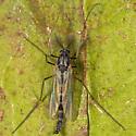 Unknown Midge - Chironomus - male