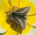moth on tidy tips flower - Heliolonche modicella