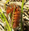 Caterpillar - Seirarctia echo