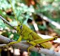 Green Bird Grasshopper - Schistocerca shoshone