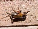 Orange-winged cricket - Gryllus - female