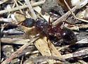 Ant 8 - Myrmica