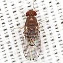 Vinegar Fly ? - Drosophila immigrans