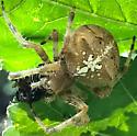 Araneus sp - Araneus gemma - female