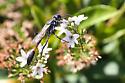 Wasp? - Ammophila procera