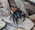 Red abdomen jumping spider - Phidippus princeps - male