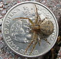 Giant crab spider - Xysticus - female