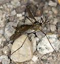 Nemotoceran and a small Psocodea? - Ptychoptera - female