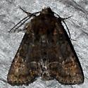Tawny Marbled Minor #3 - Oligia latruncula