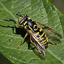 Syrphid Fly - Spilomyia interrupta - female