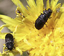Unknown Beetle - Anthaxia