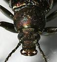 Oily Darkling Beetle - Tarpela micans