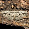 Anavitrinella atristrigaria - Hodges # 6591 - Anavitrinella atristrigaria - female