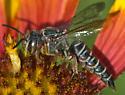 Bee with long tapered abdomen - Coelioxys texanus - female