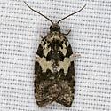 Tortricidae ZH3Z1379 - Acleris variana