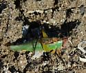 Sandspit Meadow Katydid - Orchelimum nigripes - male