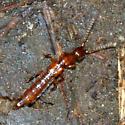 Rove Beetle - Lathrobium debile