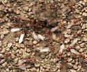 Ants - Pogonomyrmex occidentalis