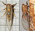 Mississippi Cicadetta calliope - Cicadetta calliope - male