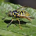 Syrphid Fly - Spilomyia interrupta - female